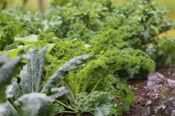 """Close up image of kale growing in a garden. Text overlay says, """"Grow More Food Next Year With These 5 Fall Gardening Tips from a 5th Generation Homesteader""""."""