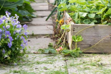 Close up photo of a raised garden bed with a stone path around it. Strawberry plants are overflowing the bed.