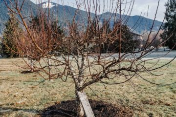 caring for fruit trees in winter remove broken branches or deadwood