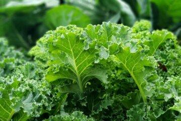 Kale growing in the garden.