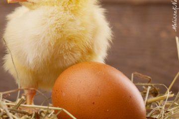 Raising Baby Chicks- Complete Beginners Guide to the First 6 Weeks
