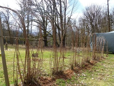 Raspberry canes tied up and dormant for winter.