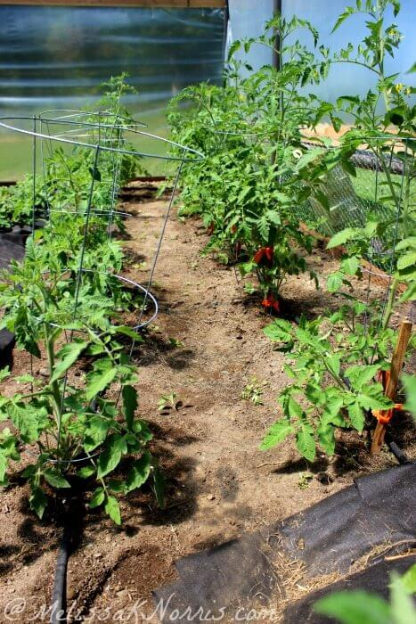 Tomatoes growing in a greenhouse with tomato cages.