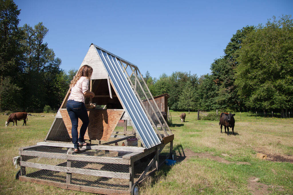 movable chicken tractor in pasture with cattle