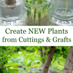 rooting plants in water and fruit tree graft