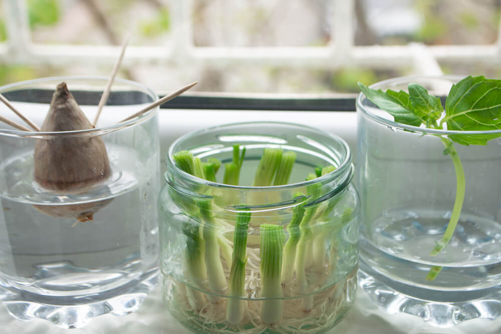 rooting stem cuttings in jars of water on windowsill