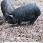 A photo of American Guinea Hogs on a Pinterest pin for raising American Guinea Hogs.