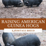 Two photos of American Guinea Hogs on a Pinterest pin for raising American Guinea Hogs.