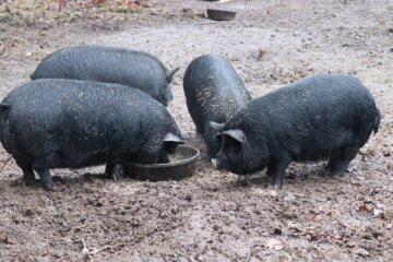 Four American Guinea Hogs eating.