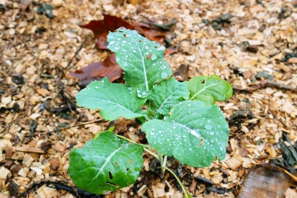 A plant growing in the garden surrounded with wood chips.
