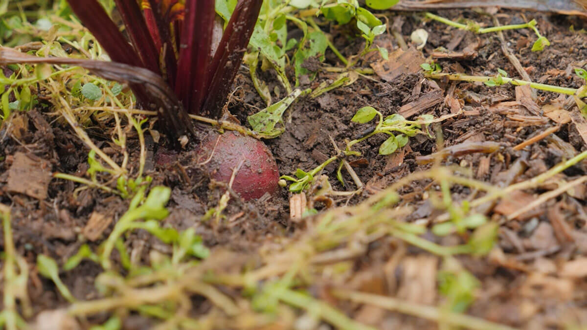 A beet in the ground.