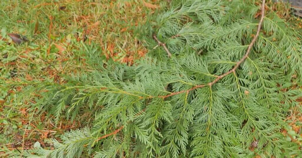 A pile of evergreen branches cut and lying on the ground.