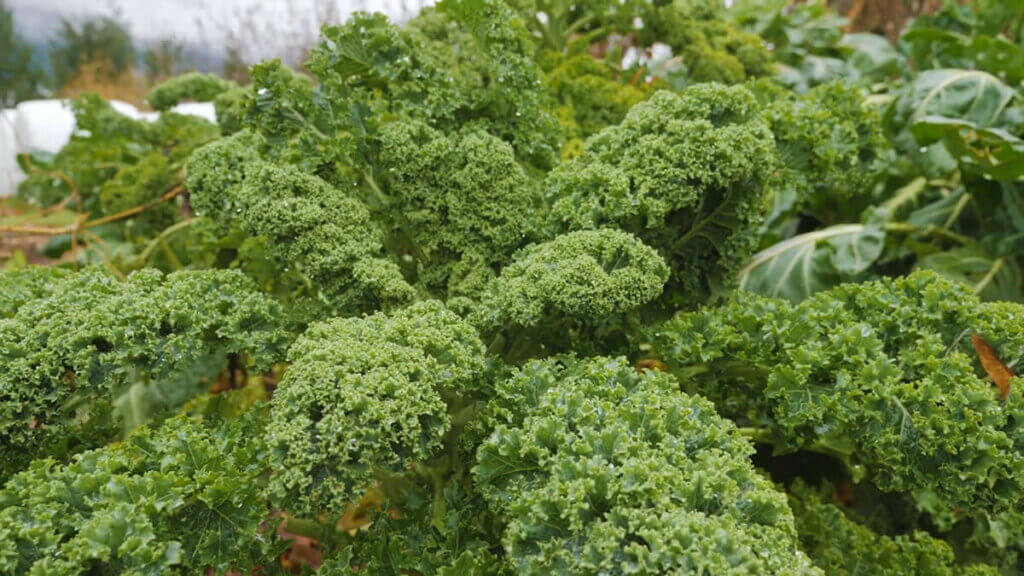 Large kale plants in the garden.