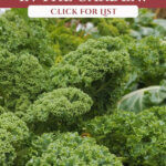 Image of large kale plants on a Pinterest pin about which vegetables can winter over in the garden.