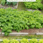 Pinterest pin with an image of a garden of raised beds filled with growing veggies.