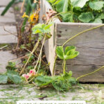 Pinterest pin with a close up shot of a raised garden bed with strawberry plants overflowing the bed.