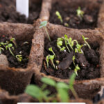 Pinterest pin for how to start seeds indoors with photos of seedlings.