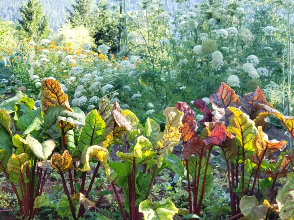 Image of a garden and a row of beets.