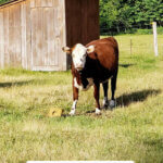 Pinterest pin with an image of a cow in the pasture.