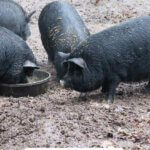 Pinterest pin with an image of American Guinea Hogs.