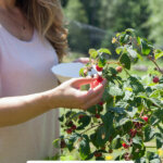 Pinterest pin for how many fruit and berry bushes to plant. Image of a woman picking raspberries from bushes.