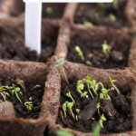 Pinterest pin with an image of seedlings starting to grow.