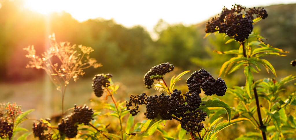 ripe elderberries (sambucus nigra) in field with sun