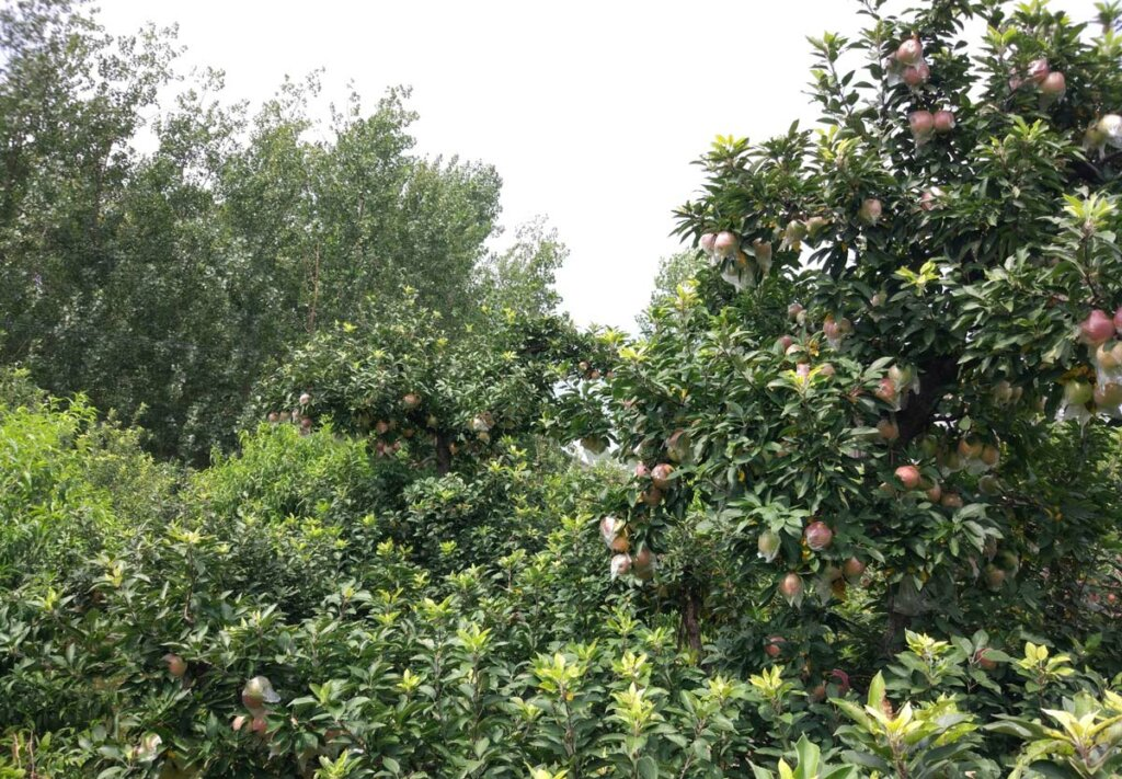 Many apple trees of all sizes with a lot of fruit on them.
