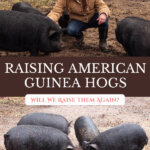 Pinterest pin for raising American Guinea Hogs with a photo of a woman crouched down by guinea hogs.