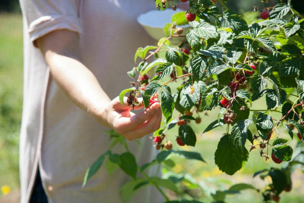 A woman's hand picking raspberries.