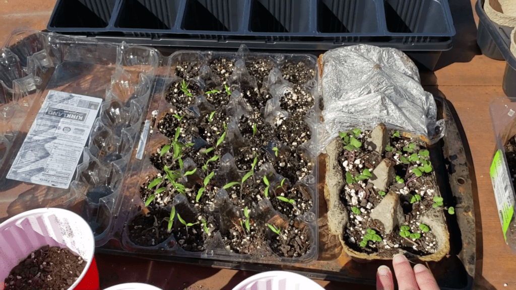 two week old seedlings in egg cartons ready to be transplanted