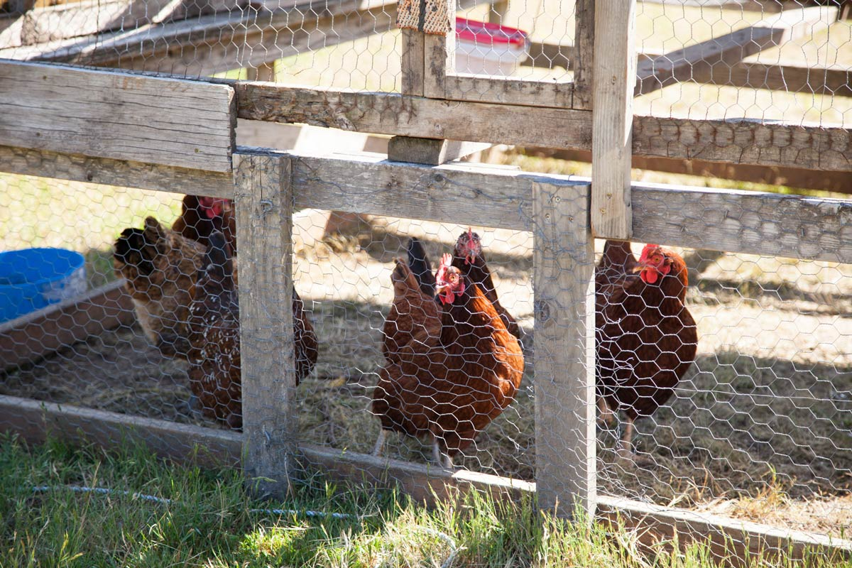 Chickens inside a portable chicken tractor.