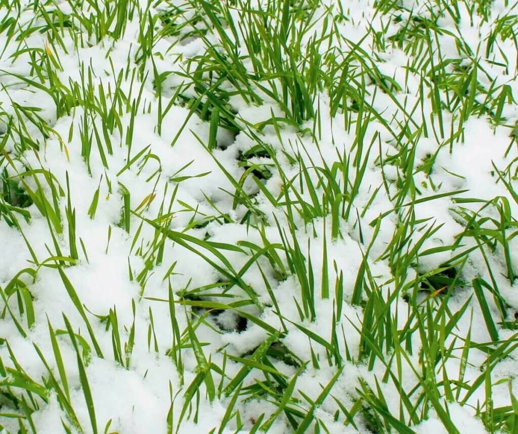 Photo of rye grasses covered in snow.