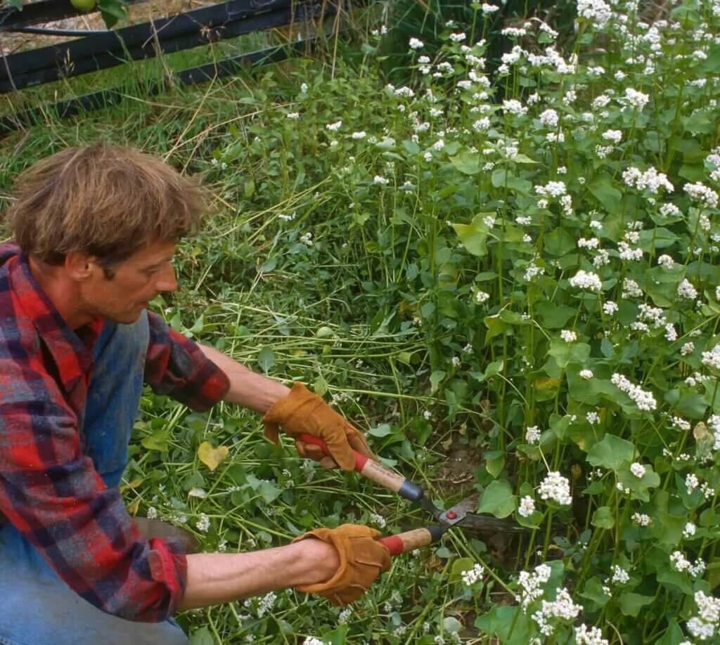 Photo of a man hand cutting cover crop that has flowered.