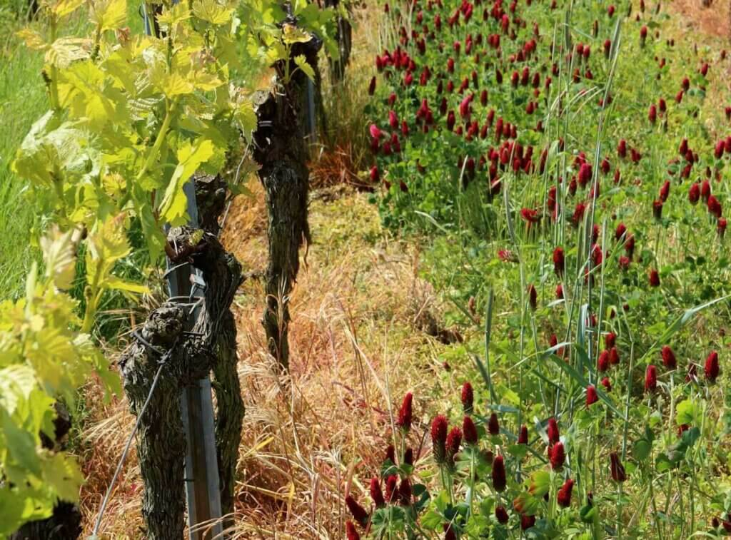 Image of a dormant grapevine with fotolinchen growing next to them.