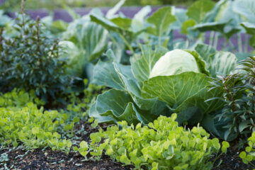 Image of cover crops growing next to cabbage in the garden.