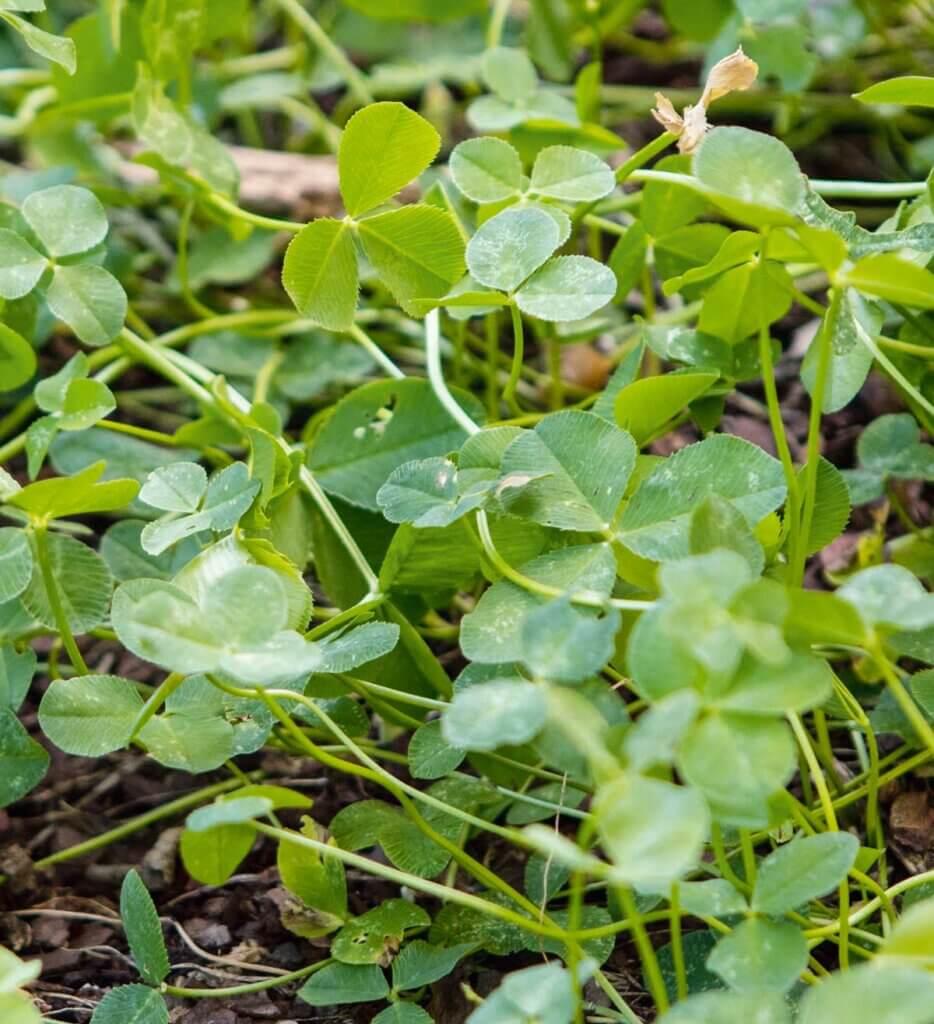 Up close photo of Derek Trimble cover crop.