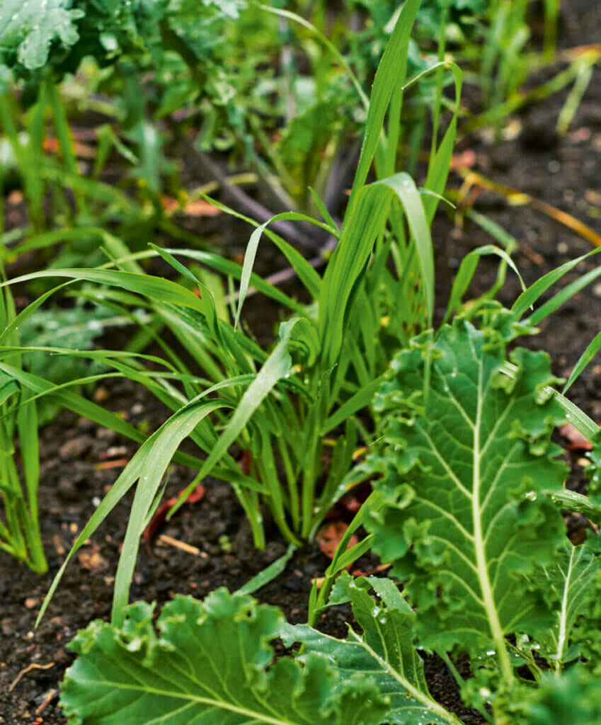 Companion plants growing together in the garden. This photo is of grasses and kale.