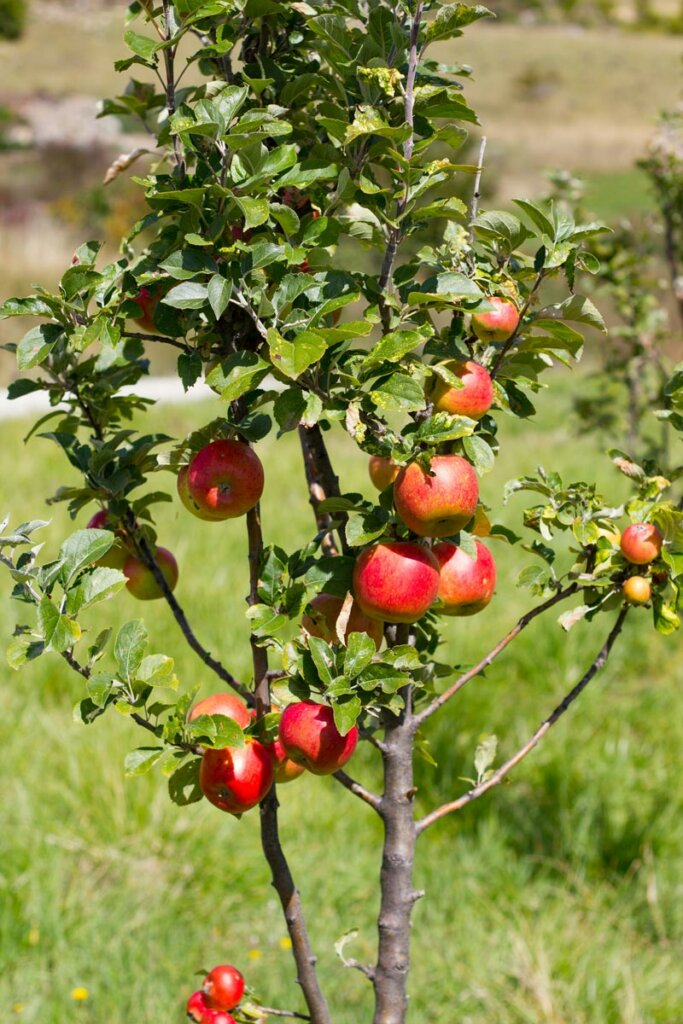 A small apple tree with about a dozen apples on it.
