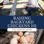 A Pinterest pin on how to raise backyard chickens for eggs with an image of a woman crouched down inside a chicken tractor, and a basket full of farm fresh eggs.