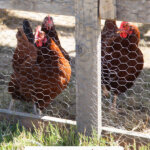 A Pinterest pin for how to raise backyard chickens for eggs with an image of chickens inside a portable chicken coop.