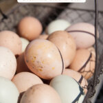 A Pinterest pin for how to raise backyard chickens for eggs with an image of a wire basket full of farm fresh eggs.