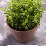 Pinterest pin for how to prune herbs. Images of herbs and a woman pruning dead herbs.