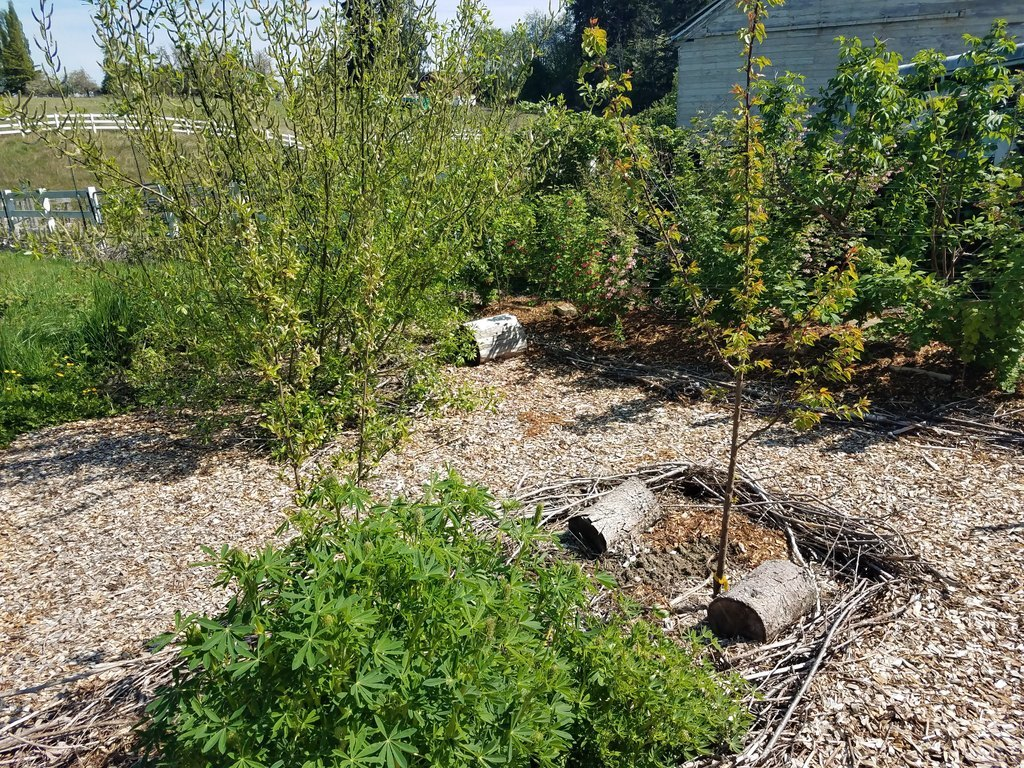 Fruit trees in the middle of a food forest.