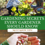 Pinterest pin for beginner gardening tips with two images. One of a mother and daughter in the vegetable garden, the other of a woman's hand holding dried beans.
