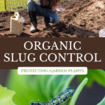 Pinterest pin for pest control in the garden from cabbage moths and slugs. Image of a woman holding a can of beer and a cabbage eaten by cabbage worms.