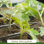 Pinterest pin on potting up seedlings with an image of small tomato seedlings.