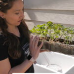 Pinterest pin on potting up seedlings with an image of a woman holding a tray of tomato seedlings.
