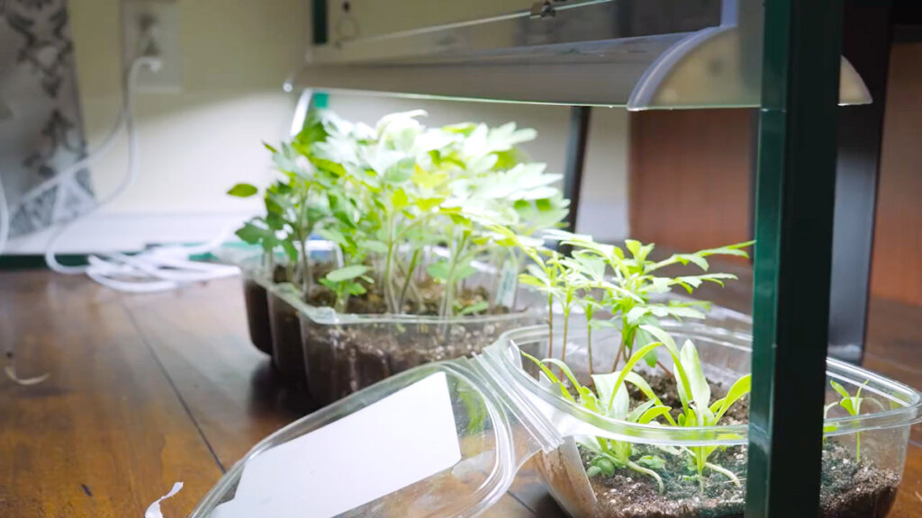 Tomato seedlings densely planted