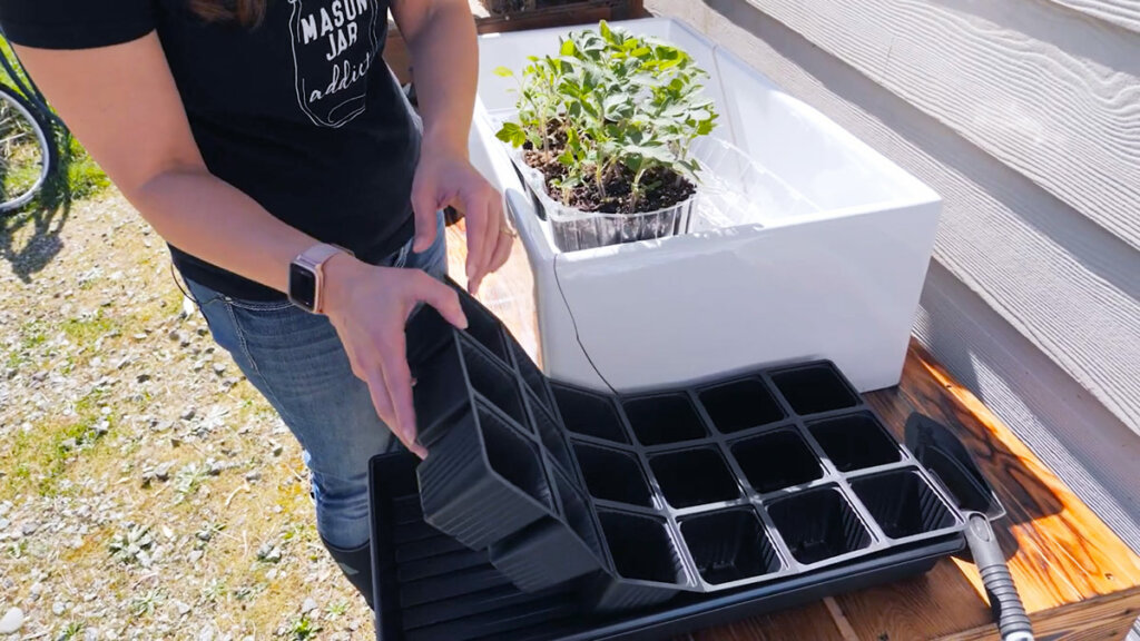 Tomato seedlings in a sink with a seedling tray in front.